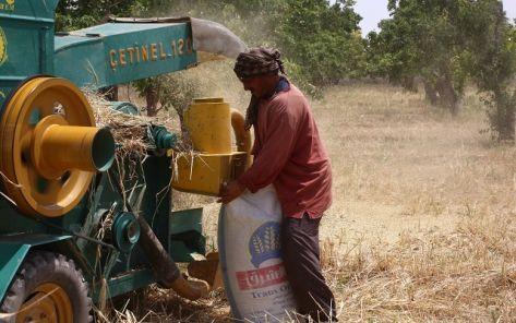 مزارعو الغوطة بدمشق.. حصاد ''المر'' في موسم القمح