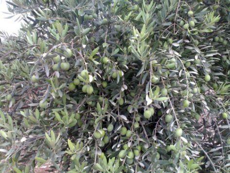 رغم الحصار والقصف.. حرستا السورية تتشبث بشجرة الزيتون!